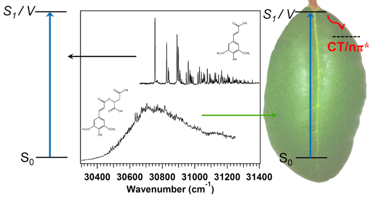 Plant Sunscreens in the UV-B: Ultraviolet Spectroscopy of Jet-Cooled Sinapoyl Malate, Sinapic Acid, and Sinapate Ester Derivatives