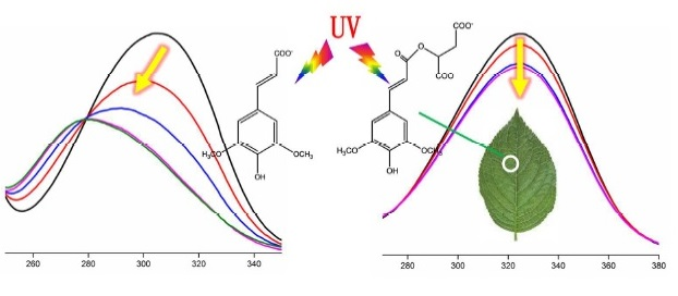 Ultrafast Barrierless Photoisomerization and Strong UV Absorption of Photoproducts in Plant Sunscreens