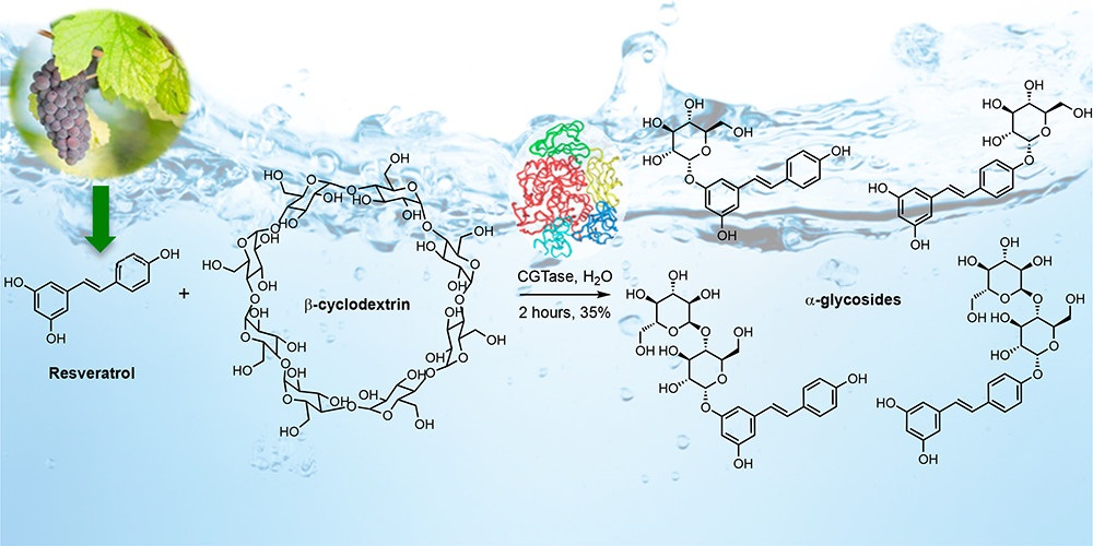 Enzymatic synthesis of resveratrol α-glycosides from β-cyclodextrin-resveratrol complex in water