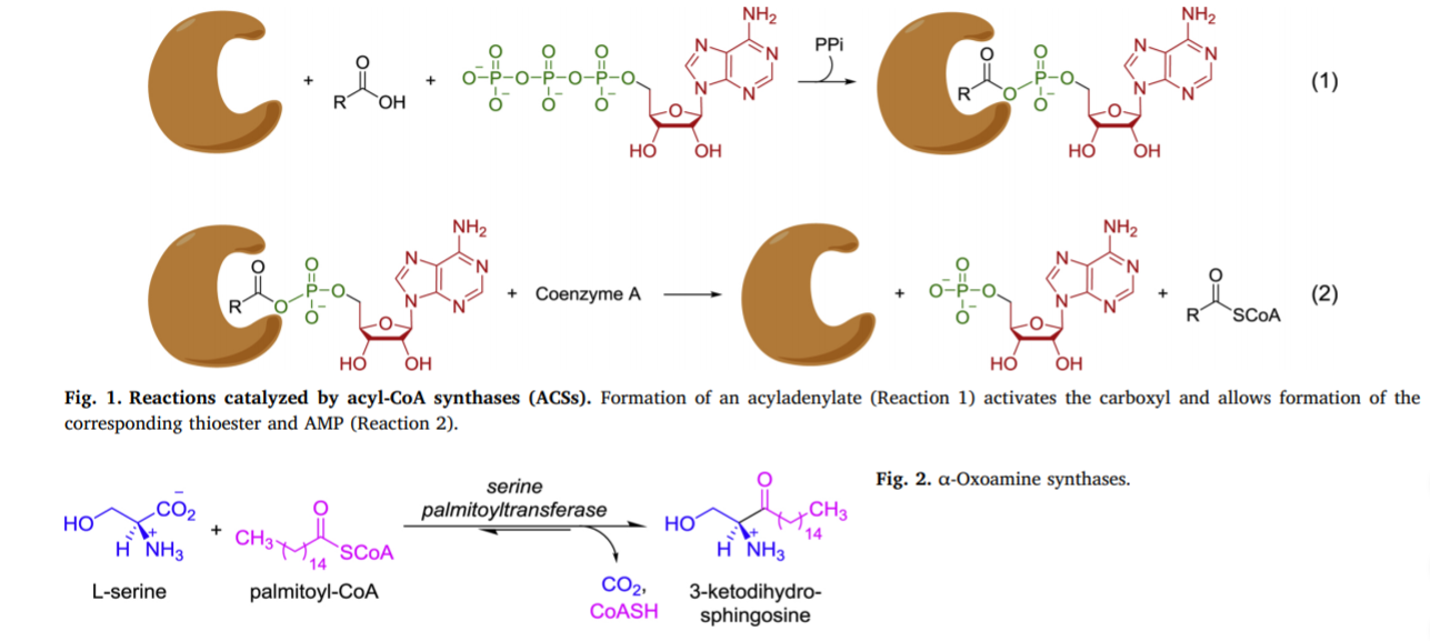 Application of Acetyl-CoA synthetase from Methanothermobacter thermautotrophicus to non-native substrates